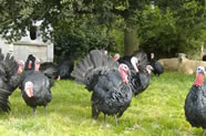 Traditional Norfolk Black Christmas Organic Turkeys.