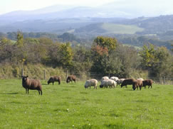 Zwartbles and Roussin lambs in the Autumn.